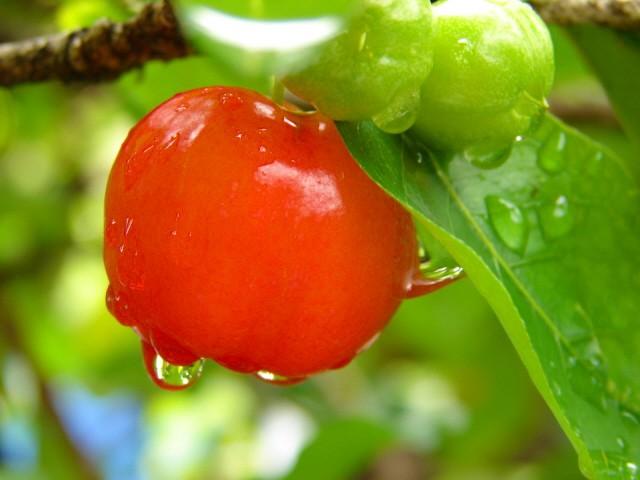 acerola - Benefícios da Acerola